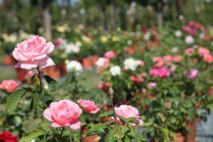 (01) Roseto / Roses